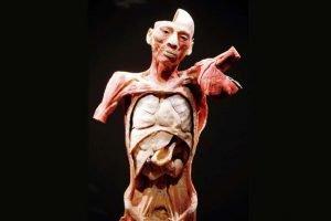 bodies the exhibition luxor las vegas bodies exhibit internal torso diplay