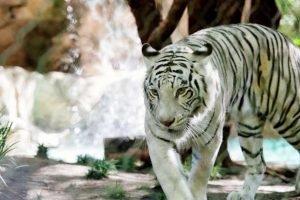 Sigfried & Roy's Secret Garden And Dolphin Habitat Las Vegas Tiger